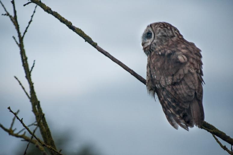 Tawney Owl causing a flutter: | Paula Graham