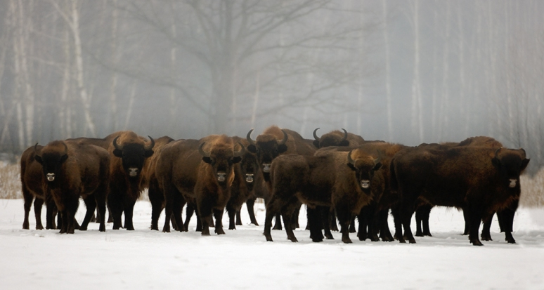 European-Bison-East-Poland