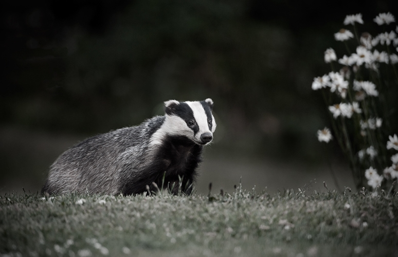 Badger-and-daisies