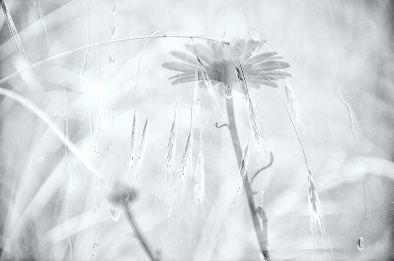 Daisies-double-exposure