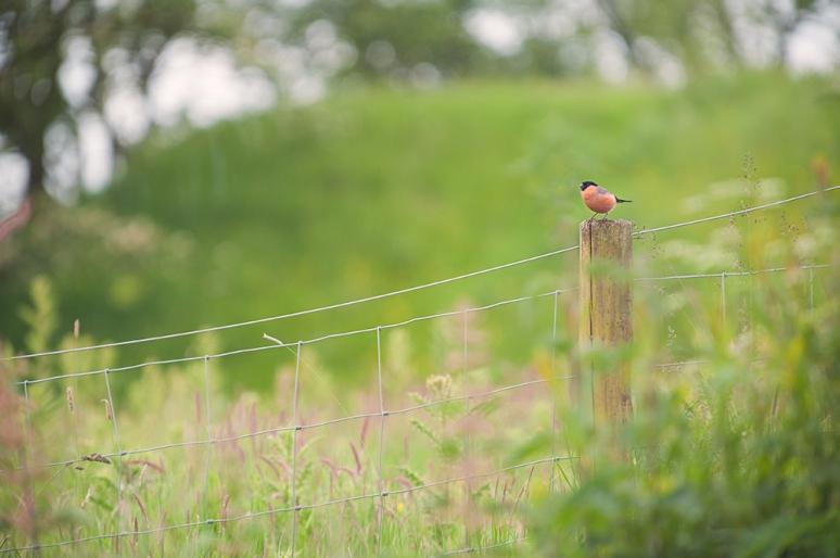 Bullfinch-male-Dumfries
