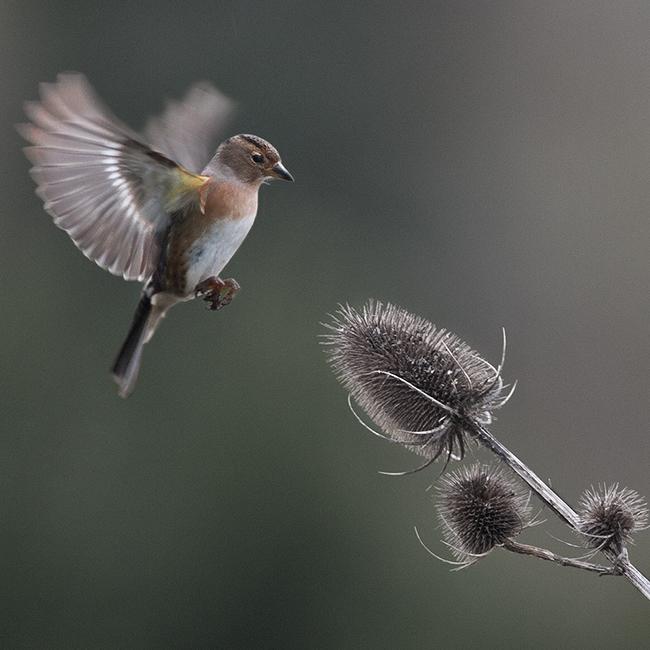 chaffinch-in-winter