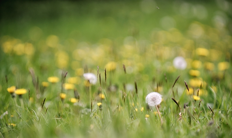 In-praise-of-Dandelions