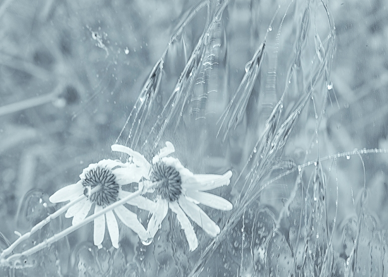 Hp-Daisies-rained-off