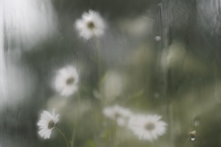 HP-Daisies-recovering