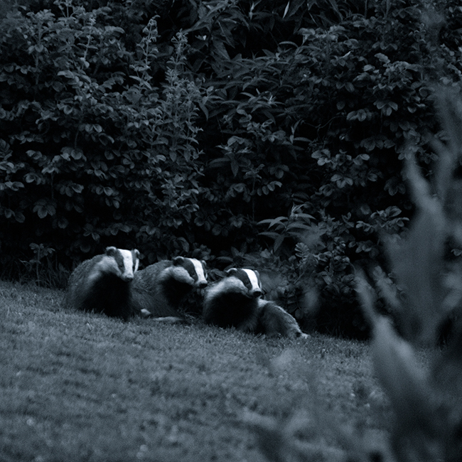HP-Animals-Badgers-posing