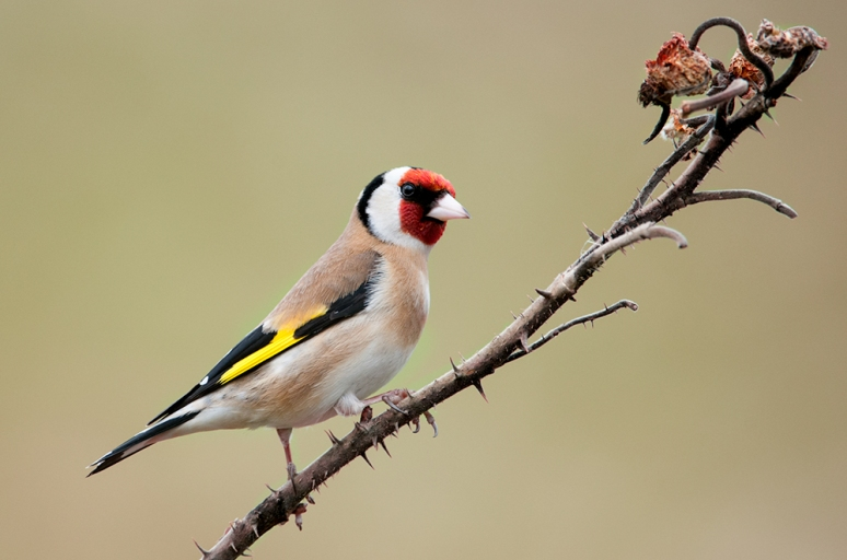 Goldfinch-on-wildl-Rose