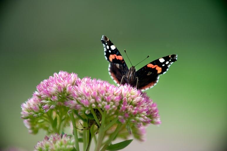 Butterlfly-1