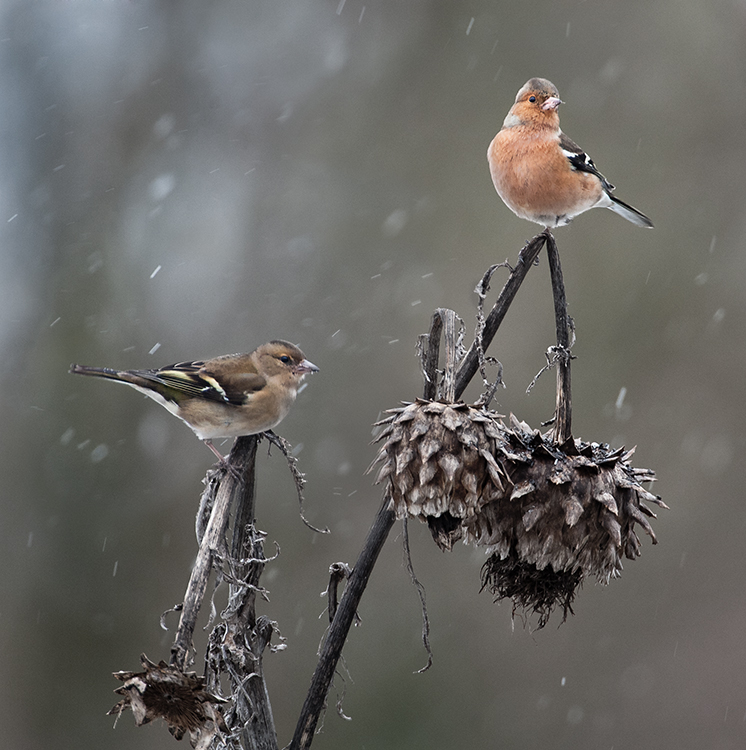 chaffinches-in-sleet-shower