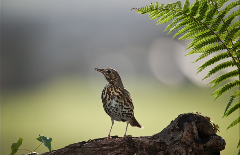 Song-Thrush-on-log