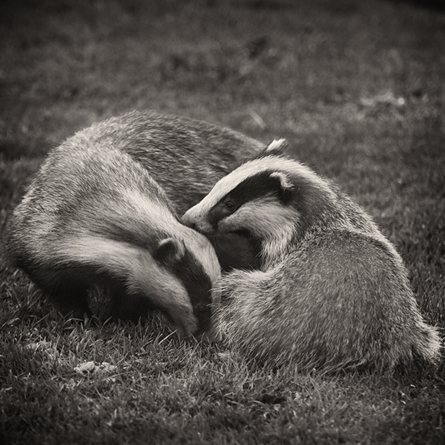 Badger-and-cub