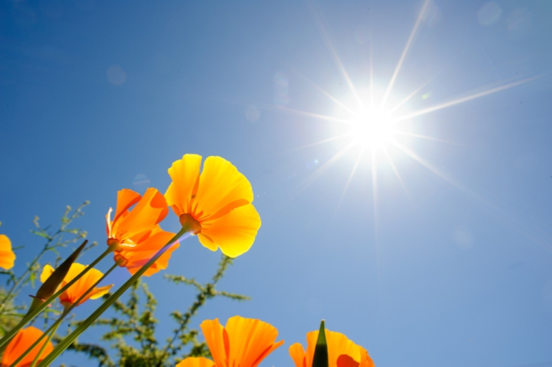 Poppies-and-sunburst