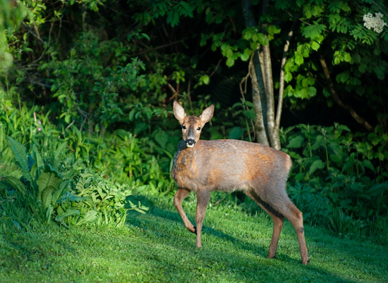 Roe-deer-in-jungle