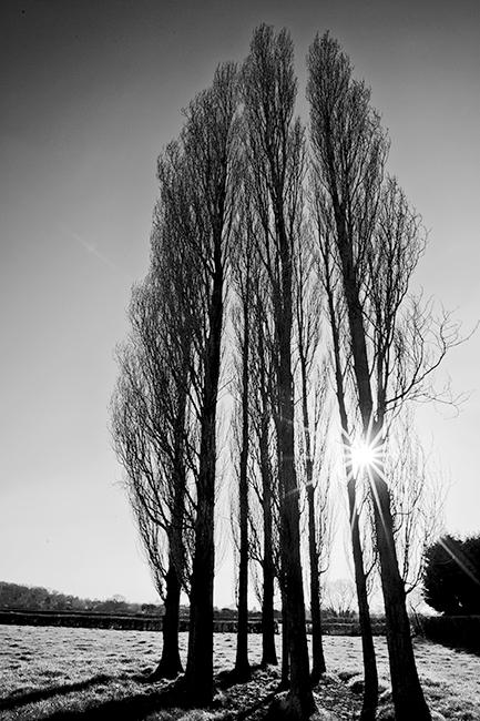 Poplars-and-sunburst