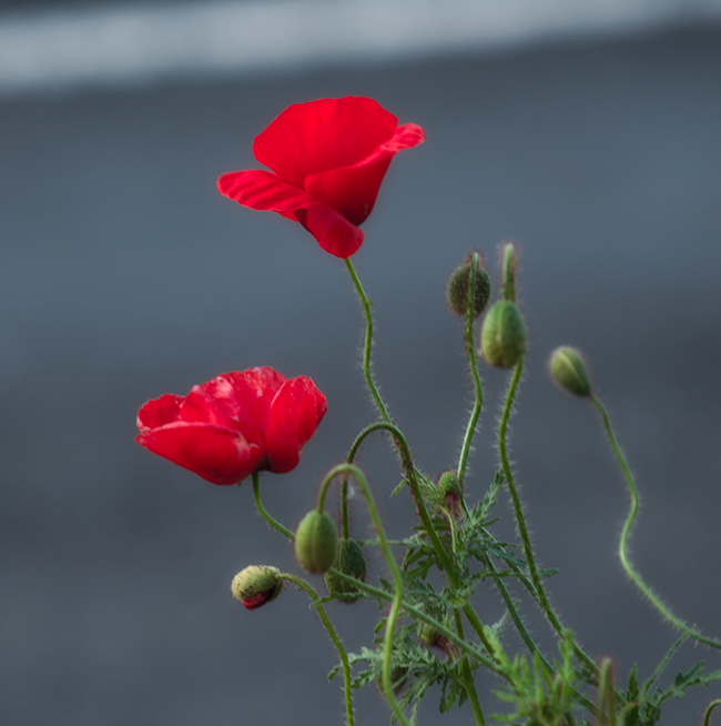 Poppies-on-roadside