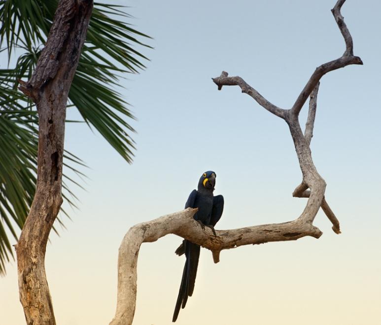 arara-azul-Pantanal
