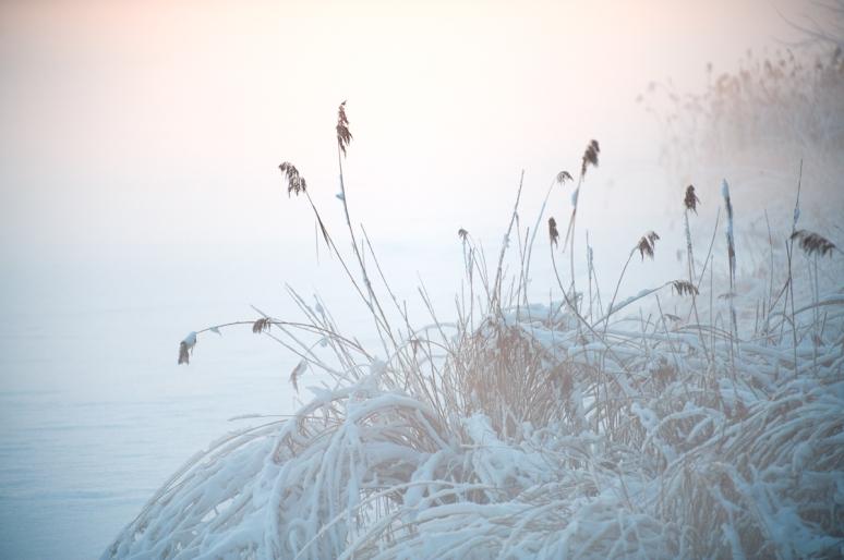 Reeds-in-winterfrost