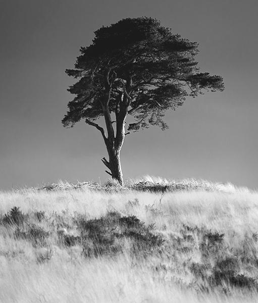 Priddy-Tree-1